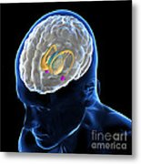 Anatomy Of The Brain Metal Print