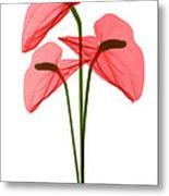Anthurium Flowers, X-ray Metal Print