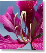Bauhinia Purpurea - Hawaiian Orchid Tree Metal Print by Sharon Mau