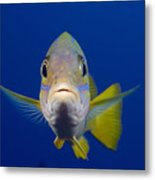 Bluestripe Snapper Metal Print