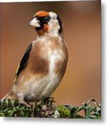 European Goldfinch Bird Close Up   Metal Print