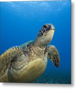 Hawaii, Green Sea Turtle Metal Print