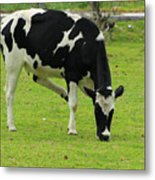 Holstein Cow On A Farm Metal Print