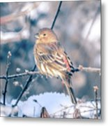 House Finch Tiny Bird Perched On A Tree Metal Print