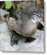 Juvenile Male Wood Duck Metal Print
