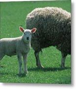 Lamb Chop With Mother Metal Print