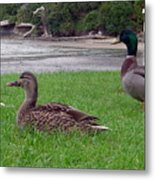 New Zealand - Mallard Ducks On The Grass Metal Print