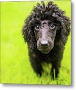Poodle Puppy Metal Print