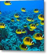 Raccoon Butterflyfish Metal Print