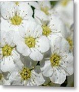 White Spiraea Flower Metal Print