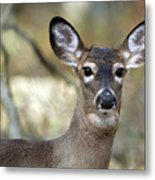 White Tailed Deer Smithtown New York Metal Print