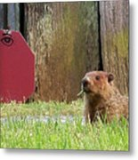 5002-groundhog Metal Print