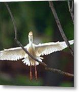 Cattle Egret In Flight Portrait Metal Print