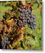 Grapes Growing On Vine Metal Print by Bernard Jaubert