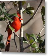 Img_0001 - Northern Cardinal Metal Print