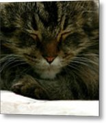 Maine Coon Cat Metal Print