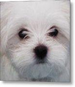 Maltese Puppy Metal Print
