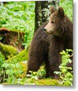 One Year Old Brown Bear In Slovenia Metal Print