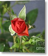 Red Rose Blooming Metal Print