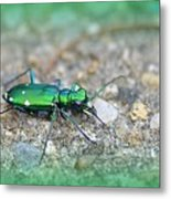6-spotted Green Tiger Beetle Metal Print