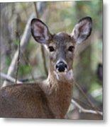 White Tailed Deer Smithtown New York Metal Print