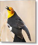 Yellow Headed Blackbird Metal Print