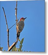 62- Red-bellied Woodpecker  Metal Print