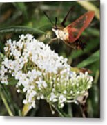 Clearwing Hummingbird Moth Metal Print