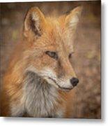 Russian Red Fox Metal Print