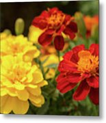 Tagetes Patula Fully Bloomed French Marigold At Garden In Octob Metal Print