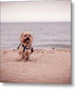 York Dog Playing On The Beach. Metal Print