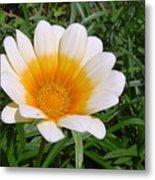 Australia - White Yellow Daisy Flower Metal Print