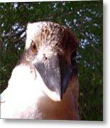Australia - Kookaburra Stickybeak Metal Print