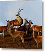 Red Deer In The Highlands Metal Print