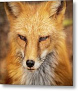 Russian Red Fox Metal Print