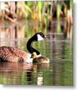 8137 - Canada Goose Metal Print