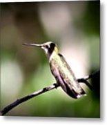 8181-001 - Ruby-throated Hummingbird Metal Print