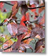 8623-001 - Northern Cardinal Metal Print