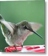 Female Ruby-throated Hummingbird Metal Print