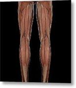 Leg Musculature Metal Print