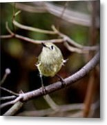 9343-00-ruby-crowned Kinglet Metal Print