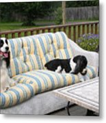 #940 D1094 Farmer Browns Springer Spaniel Together Metal Print