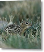 A 13-lined Ground Squirrel At The Henry Metal Print