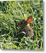 A Baby Cottontail Rabbit Sits Among Metal Print