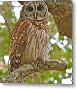 A Barred Owl Metal Print