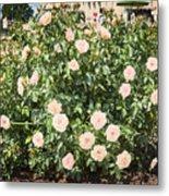 A Beautiful Rose Bush Castle Park 6 Metal Print
