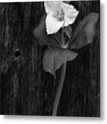 a beautiful Trillium  Metal Print