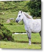 A Beautiful White Dartmoor Pony, Devon, England Metal Print