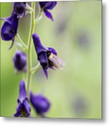A Bee In Your Monkhood? Metal Print