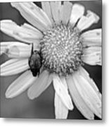 A Beetle And A Daisy  Metal Print